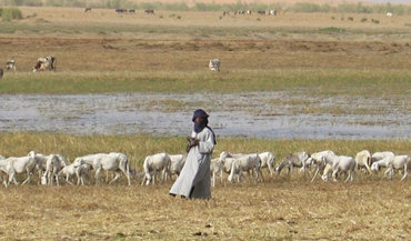 Sheep grazing dry season pastures in Mopti, Mali (Photo: Near East Foundation)